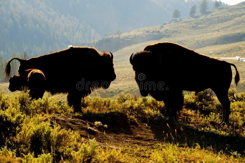 Bisonte del búfalo en la puesta del sol de Yellowstone imagenes de archivo