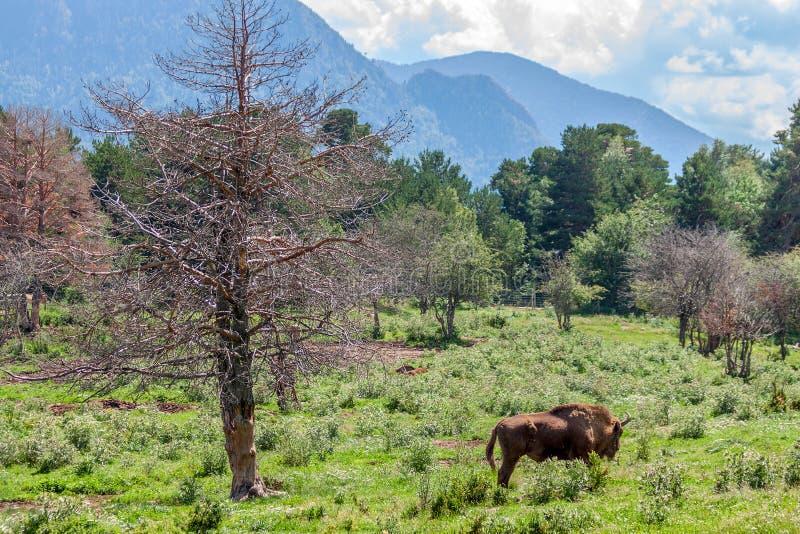 Bisonte di legno europeo immagine stock libera da diritti