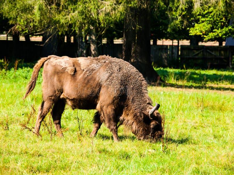 Bisonte di legno europeo nella foresta primigenia di Bialowieza fotografia stock