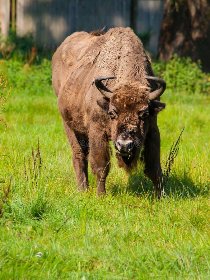 Bisonte di legno europeo nella foresta primigenia di Bialowieza immagini stock libere da diritti