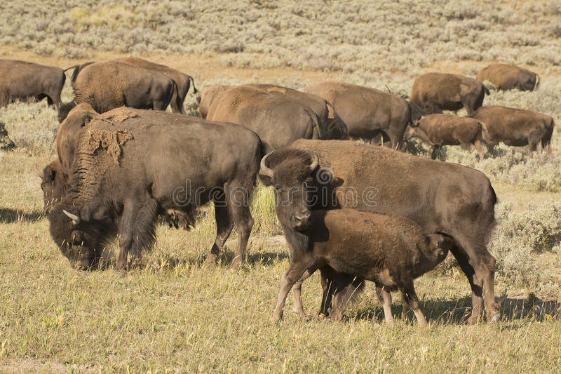 Bisonte do búfalo em Yellowstone imagens de stock royalty free