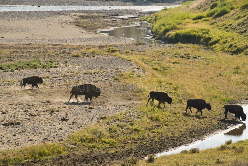 Bisonte do búfalo que cruza um rio em Lamar Valley Yellowstone fotos de stock royalty free