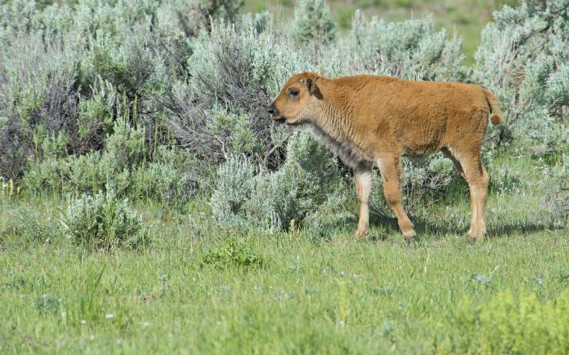 Bisonte do bebê no parque nacional de Yellowstone fotos de stock