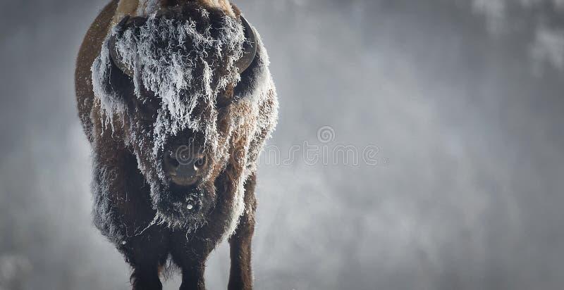 Bisonte do gelo imagens de stock