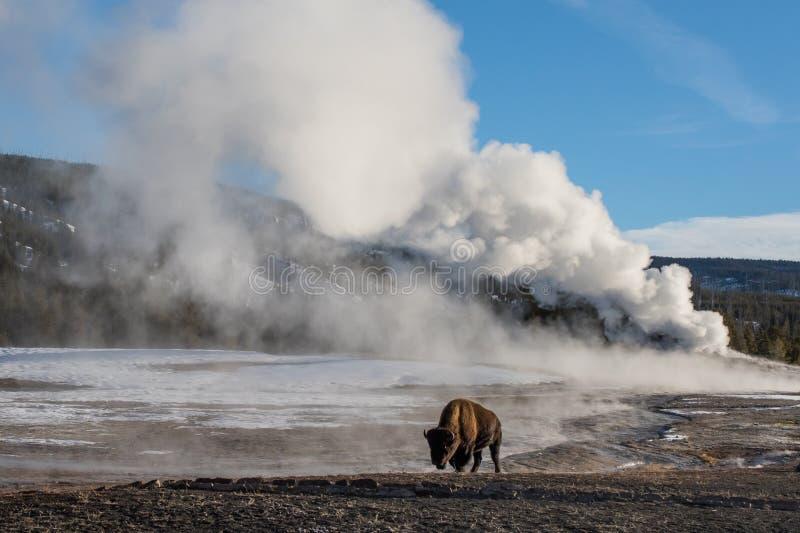 Bisonte e geyser gigante immagine stock libera da diritti