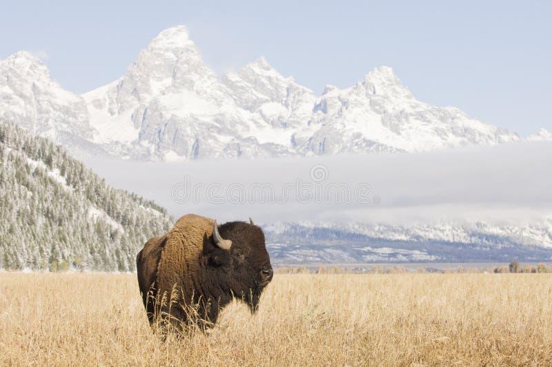 Bisonte em montanhas grandes de Teton imagens de stock royalty free