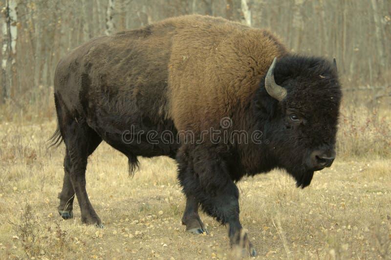 Bisonte en Alberta fotos de archivo libres de regalías