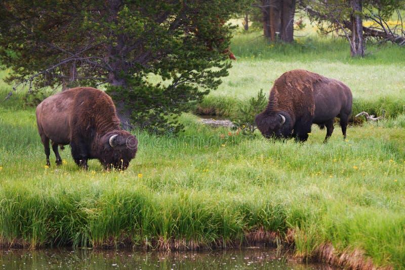 Bisonte en el parque nacional de Yellowstone que pasta imagenes de archivo