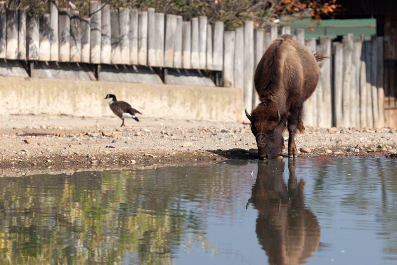 Bisonte en el parque zoológico de Praga fotografía de archivo