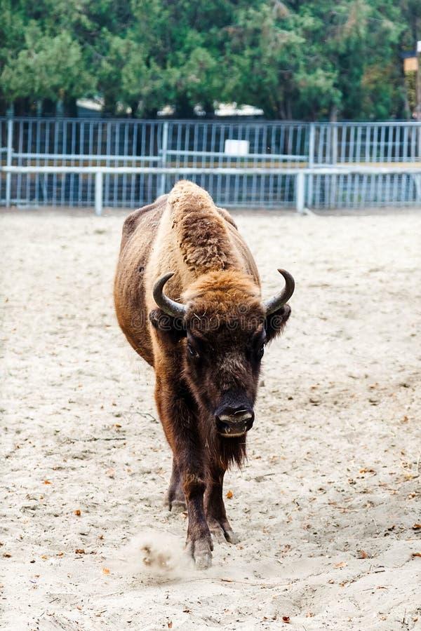 Bisonte en el parque zoológico fotografía de archivo