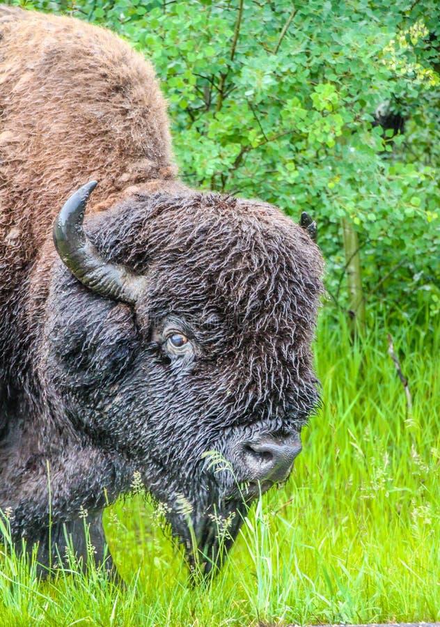 Bisonte en la lluvia, parque nacional de la isla de los alces, Alberta, Canadá imagen de archivo