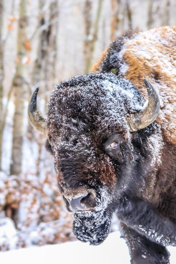 Bisonte en la nieve, parque nacional de la isla de los alces, Alberta, Canadá imágenes de archivo libres de regalías