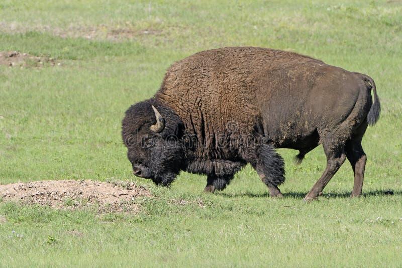 Bisonte en la pradera fotografía de archivo libre de regalías