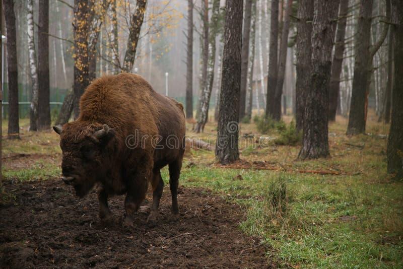 Bisonte en la reserva de Bielorrusia en el fondo del bosque fotografía de archivo