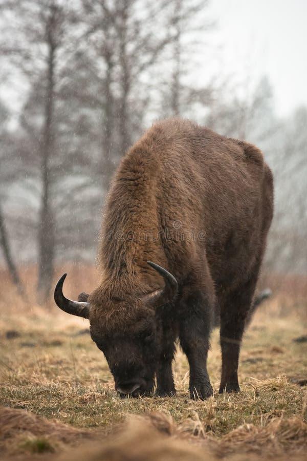 Bisonte en lluvia foto de archivo libre de regalías