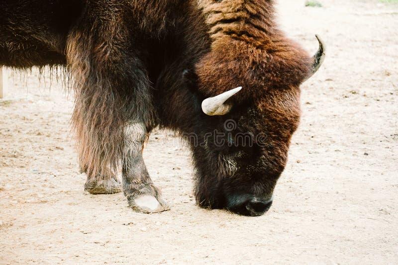Bisonte en un parque zoológico foto de archivo