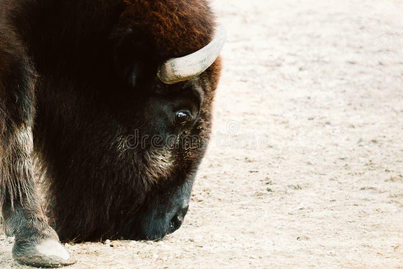 Bisonte en un parque zoológico fotografía de archivo