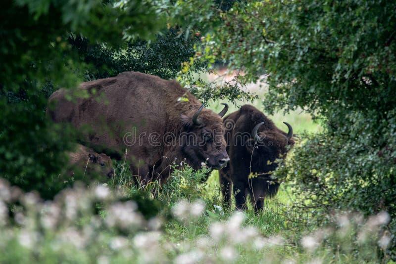 Bisonte europeo imagen de archivo libre de regalías