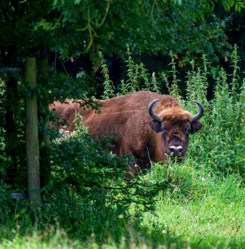 Bisonte europeo imágenes de archivo libres de regalías