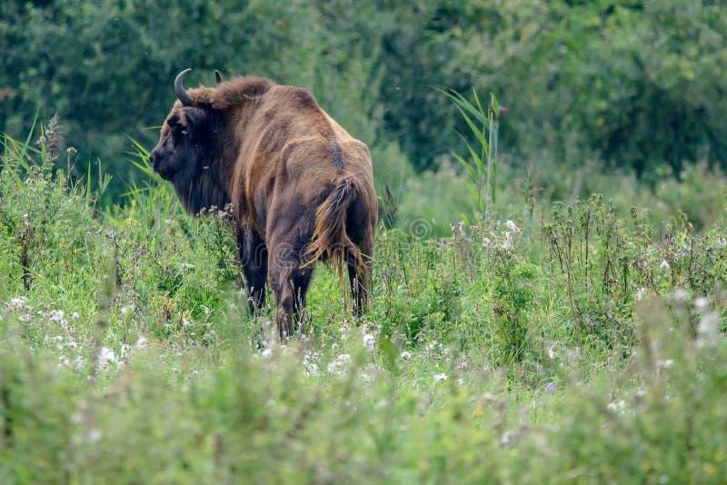 Bisonte europeo imagen de archivo