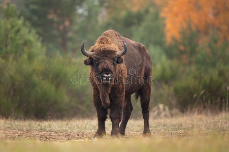 Bisonte europeo, bonasus del bisonte, Ralsko imagen de archivo libre de regalías