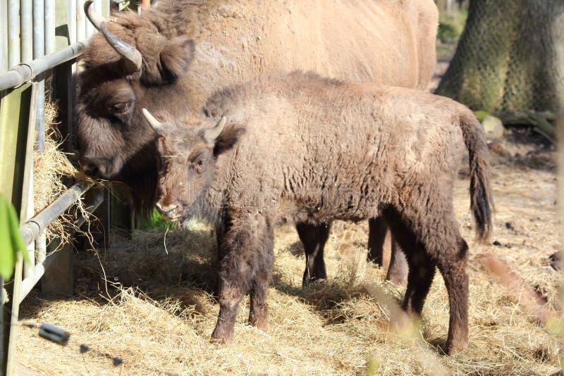 Bisonte europeo con el bebé imagen de archivo