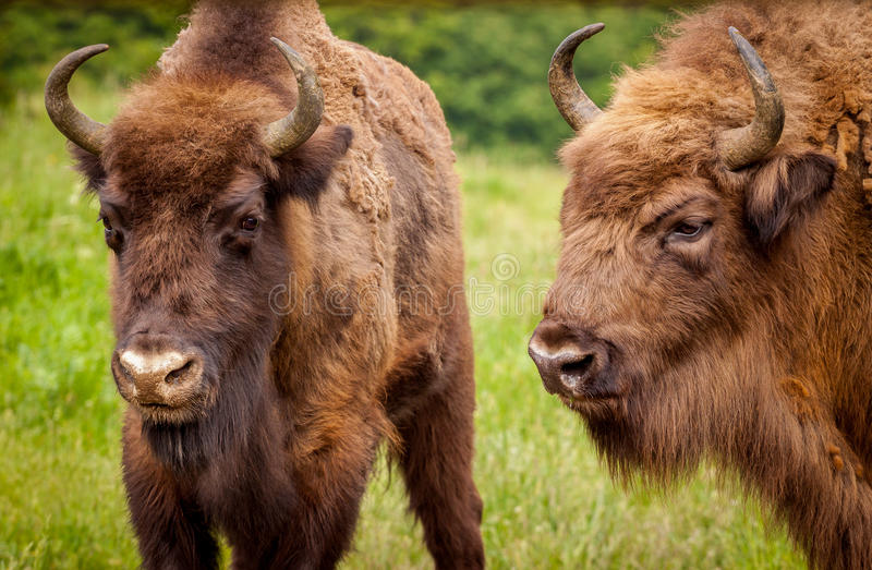 Bisonte europeo del bisonte europeo (varón joven y mayor del bonasus del bisonte) - imagen de archivo libre de regalías