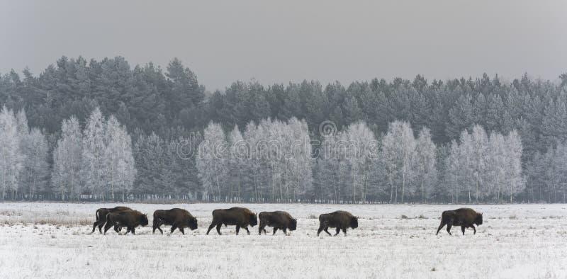 Bisonte europeo del gregge in Polonia immagine stock