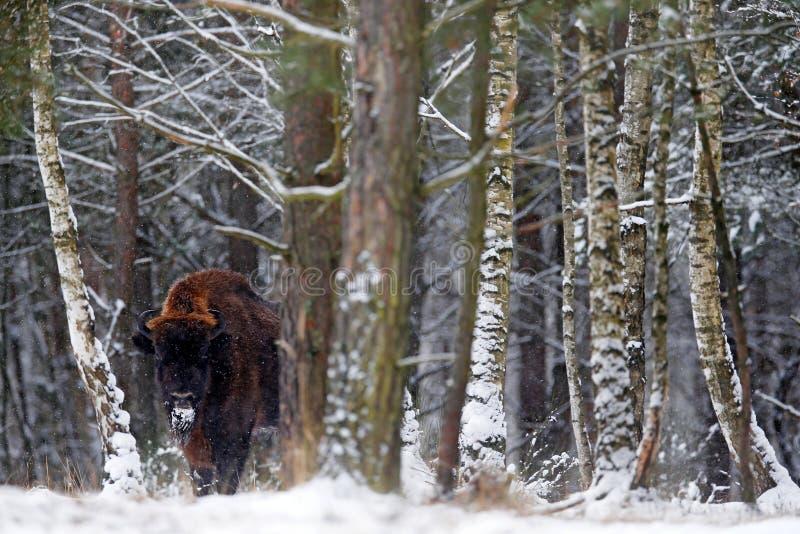 Bisonte europeo en el bosque del invierno, escena fría con el animal marrón grande en el hábitat de la naturaleza, nieve en los á foto de archivo