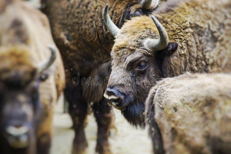 Bisonte europeo, bisonte europeo Foco selectivo foto de archivo libre de regalías