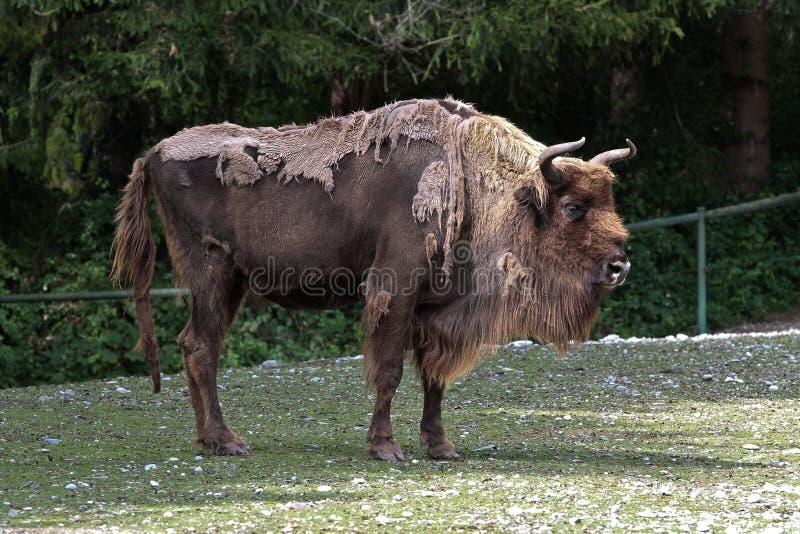 Bisonte europeo o bisonte europeo, bonasus del bisonte en un parque zoológico alemán imagenes de archivo