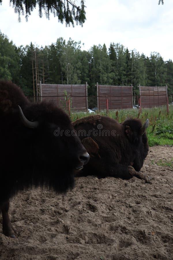 Bisonte europeo, St Petersburg, Toksovo Knon masculino del bisonte del bosque también como el bisonte o bisonte europeo europeo N foto de archivo libre de regalías