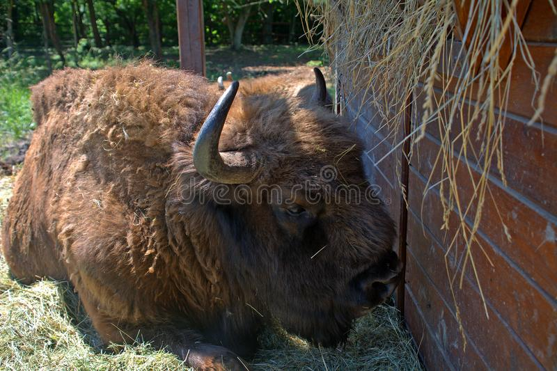 Bisonte europeo, Szarvas, Ungheria fotografia stock libera da diritti