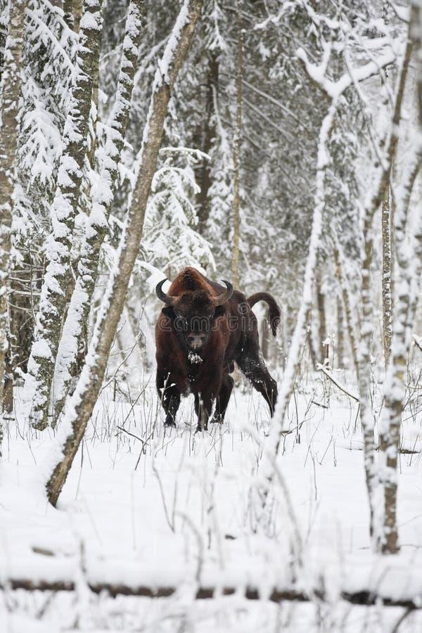 Bisonte europeu foto de stock royalty free