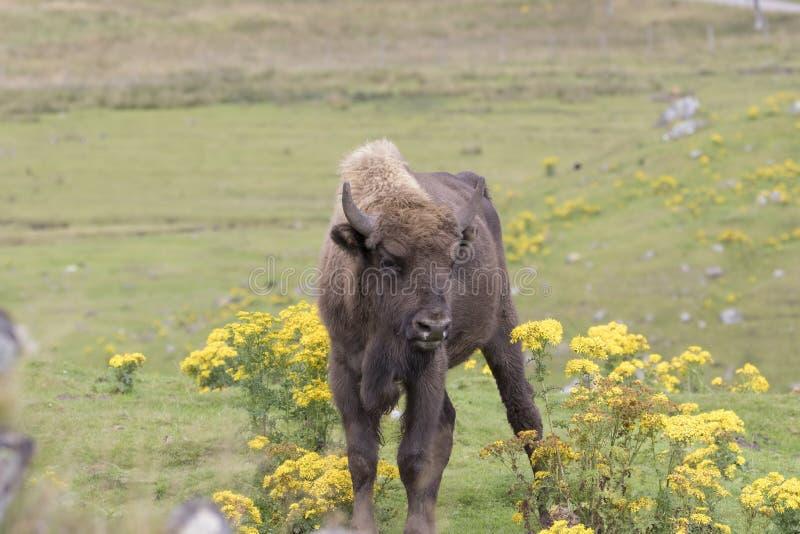 Bisonte europeu, bonasus do bisonte, retrato com fundo imagem de stock royalty free