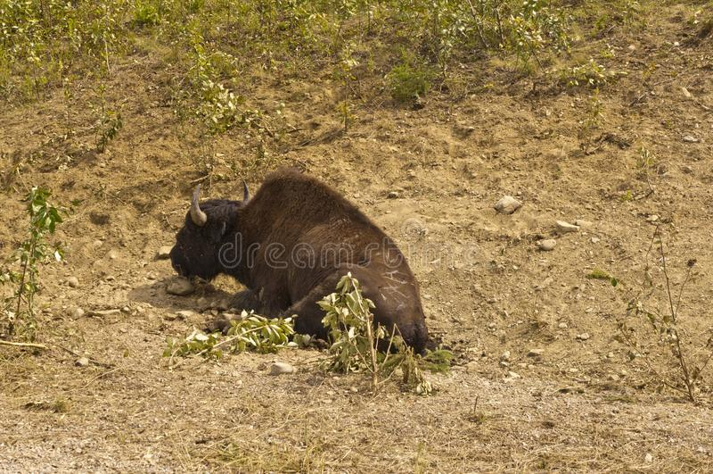 Bisonte ferido ao longo da estrada de Alaska imagens de stock royalty free