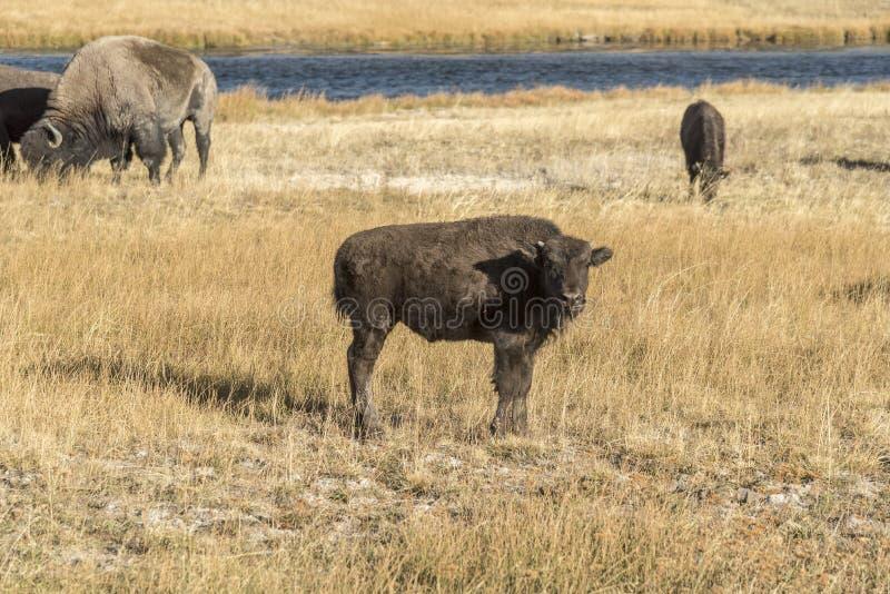 Bisonte joven del búfalo en el parque nacional de Yellowstone del río de Firehole foto de archivo