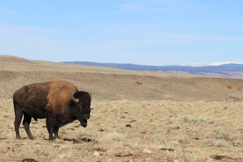Bisonte joven en la frontera de Colorado-Wyoming imagenes de archivo