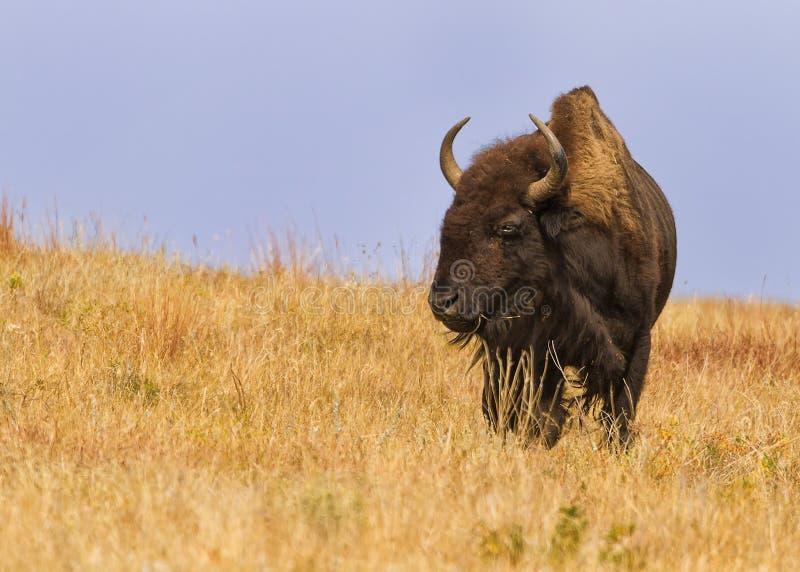 Bisonte maestoso del bisonte del bisonte americano in Sud Dakota fotografia stock libera da diritti