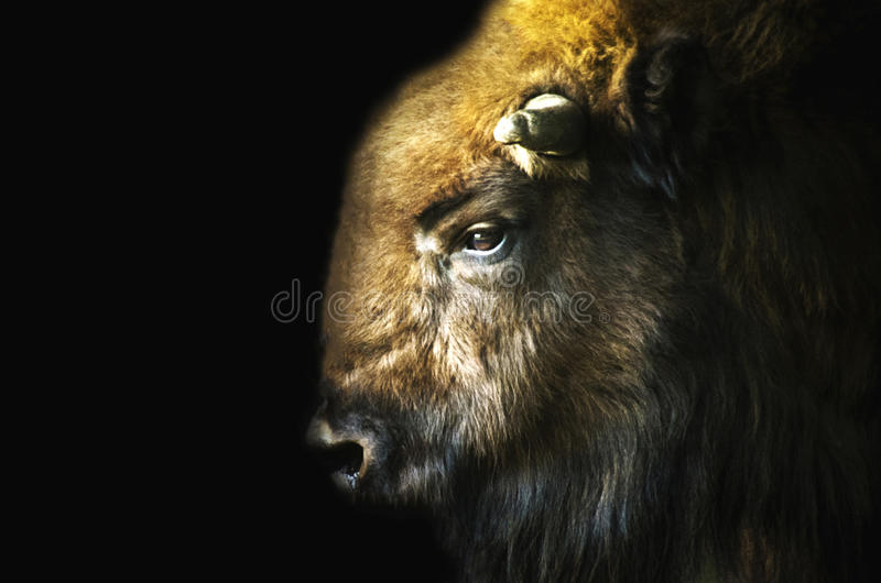 Bisonte maschio (bonasus del bisonte) su fondo nero fotografia stock