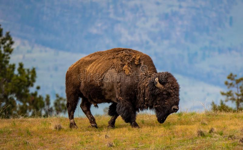 Bisonte masculino em Bison Range nacional imagem de stock