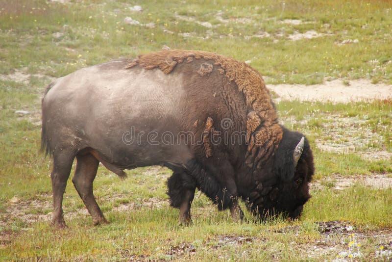Bisonte masculino que pasta en el parque nacional de Yellowstone, Wyoming foto de archivo libre de regalías