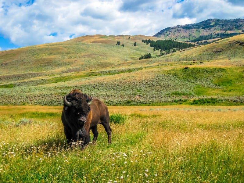 Bisonte nella sosta nazionale del yellowstone immagine stock libera da diritti