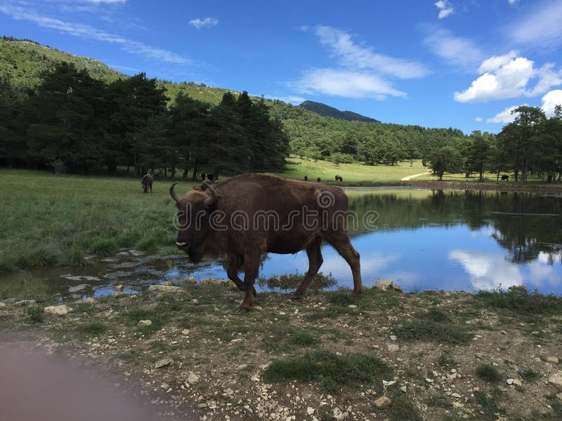 Bisonte no biologique da reserva fotografia de stock royalty free