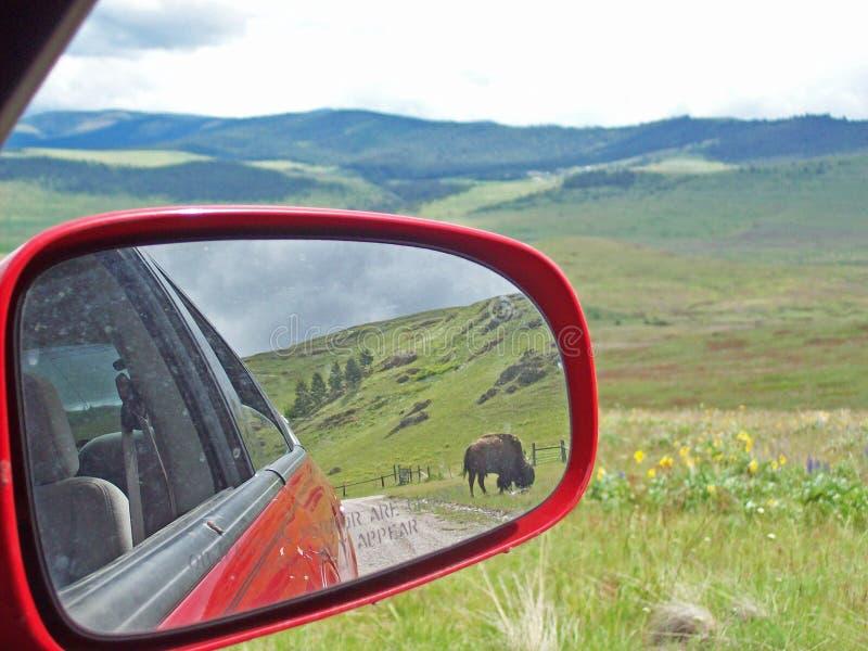 Bisonte no espelho retrovisor fotos de stock