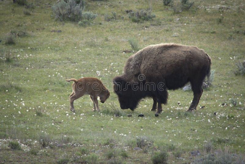 Bisonte no parque fotografia de stock royalty free