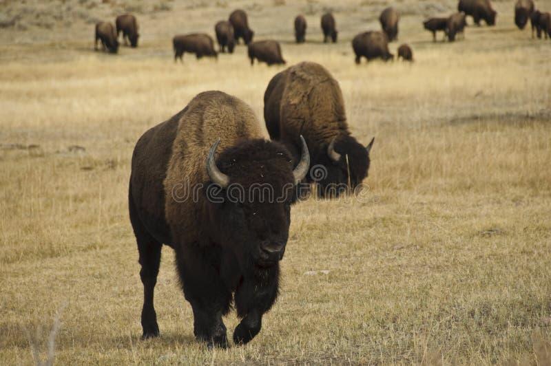 Bisonte no parque nacional de Yellowstone fotos de stock royalty free