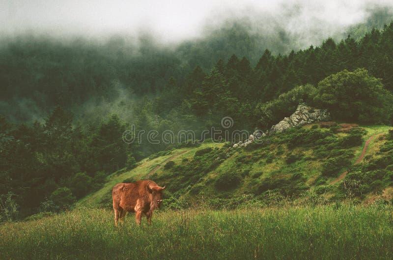 Bisonte no prado, amanhecer imagens de stock