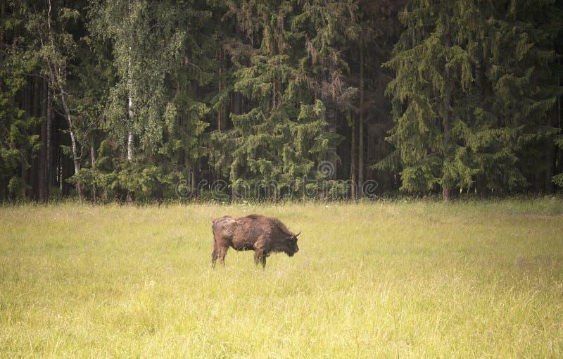 Bisonte no prado pela floresta, Lituânia foto de stock