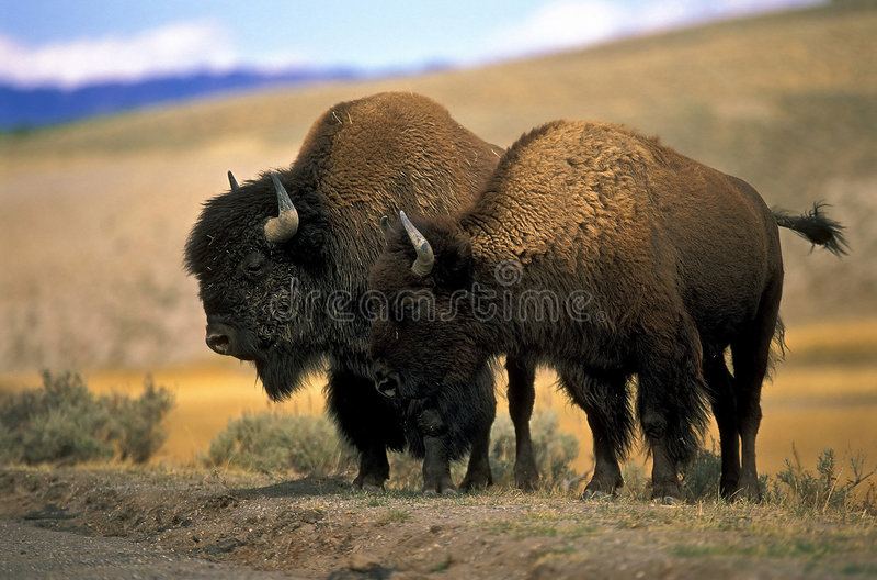Bisonte nordamericano immagini stock libere da diritti